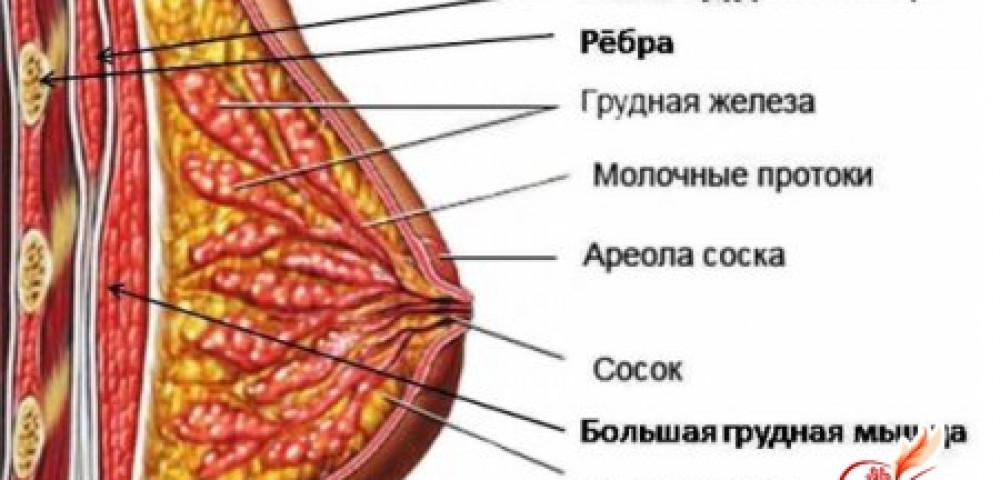 Стадии развития женской груди