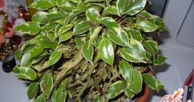 Фикус сбросил листья — не бросай его в беде