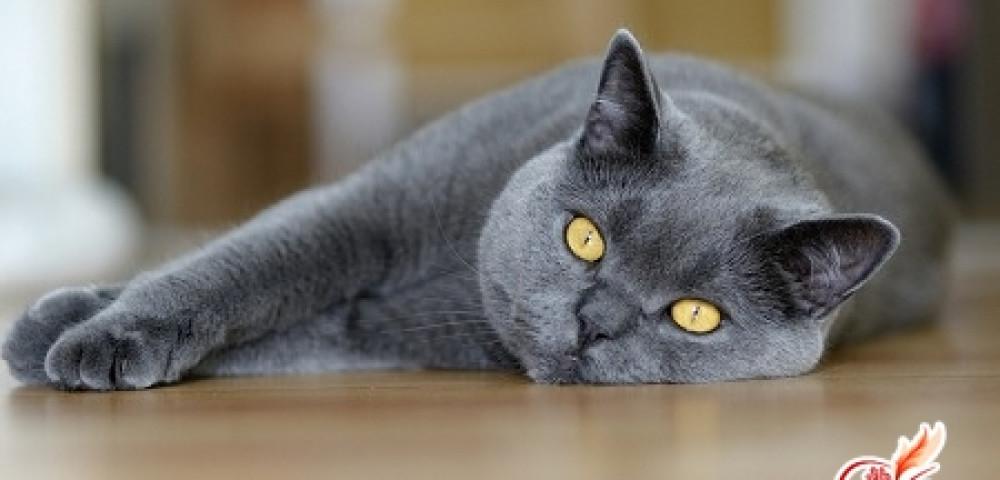 Как часто вычесывать британскую кошку