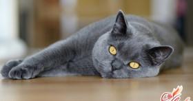 Британские кошки — уход за пушистыми аристократами