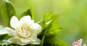 Жасминовая гардения: уход и размножение