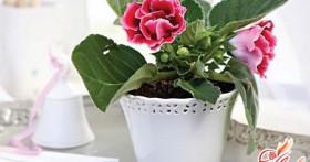 Глоксиния: бархатистая роскошь колокольчиков на вашем окне