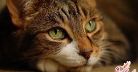 Как лечить лишай у кошек?