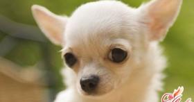 Собаки чихуахуа – дань моде или идеальный компаньон?