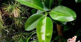 Почему могут опадать листья у фикуса: ищем ответ вместе
