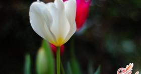 Цикламен персидский — выращивание и уход