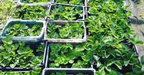 Как правильно посадить клубнику в августе для большой урожайности
