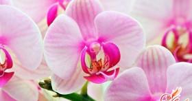 Комнатная орхидея: уход за растением