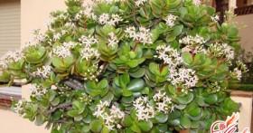 Денежное дерево — лечебные свойства домашнего растения