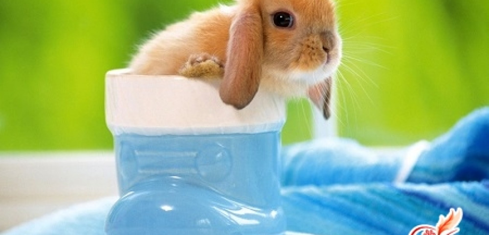 Японский кролик как выглядит японский карликовый кролик