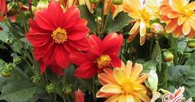Как вырастить рассаду для цветов?