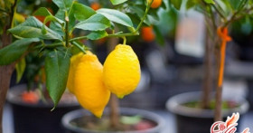 Как вырастить лимонное дерево у себя дома