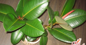 Фикус: разновидности и особенности экзотического растения
