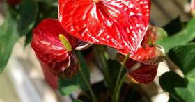 Выращивание антуриума и уход за ним в домашних условиях