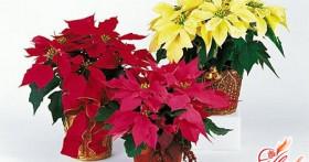 Пуансетия прекраснейшая — цветок Рождества
