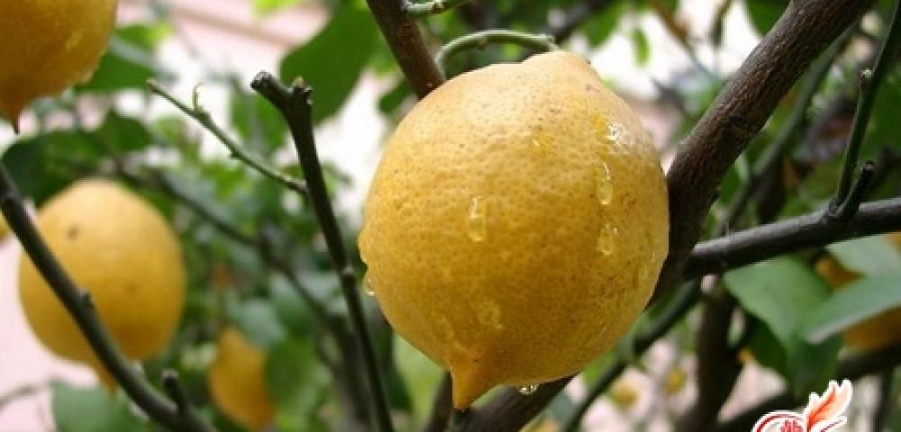 Как ухаживать за комнатным лимоном - советы