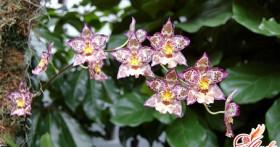 Орхидея камбрия — выращивание в домашних условиях