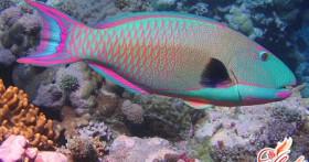 Рыба попугай: аквариумная экзотика