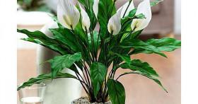 Как выращивать цветок Спатифиллум (Женское счастье)