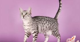 Египетская Мау — кошка фараонов