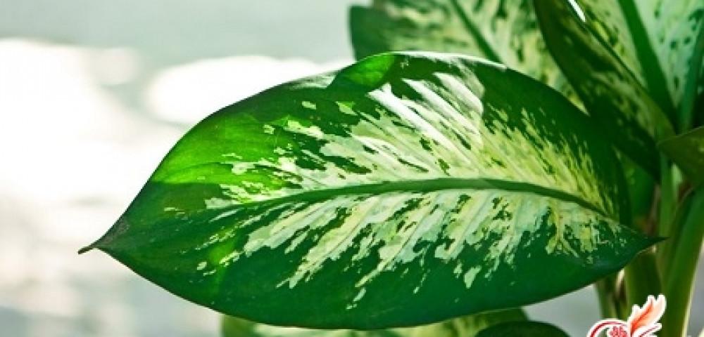 От чего сохнут листья у диффенбахии
