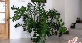 Долларовое дерево: как привлечь удачу в дом