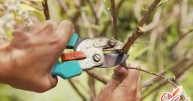 Искусство садового хирурга: обрезка плодовых деревьев