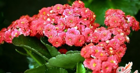 Каланхоэ декоративный. Как вырастить цветущее растение?