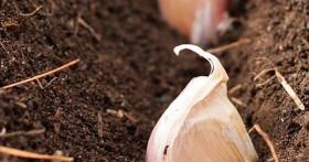 Как правильно сажать чеснок под зиму для хорошего урожая