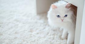 Что делать, если у кошки появилась перхоть