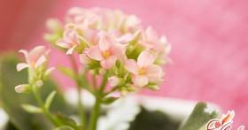 Каланхоэ: растение-аптека на подоконнике