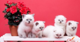 Чем кормить шотландского вислоухого котенка?