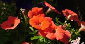 Петуния: водопад цветов в вашем доме