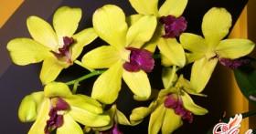 Орхидея дендробиум фаленопсис: содержание гибридного растения дома