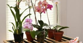 Орхидея в горшке: основные особенности ухода