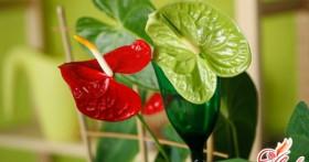 Домашний антуриум: чернеют листья? Лечим растение