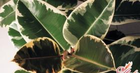 Проблемы домашнего цветоводства: почему желтеют листья у фикуса