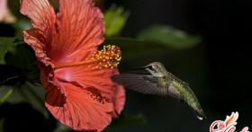 Китайская роза. Как вырастить ее в домашних условиях?