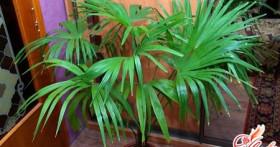 Комнатная пальма — кусочек тропического леса в кадке