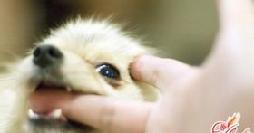 Как отучить щенка кусаться? Азы науки о воспитании собаки