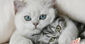 Сколько длится беременность у кошек? Как она протекает?