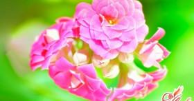 Каланхоэ блоссфельда — выращивание и уход в домашних условиях