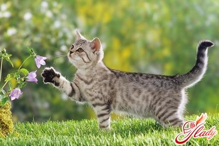 беременность кошки длится