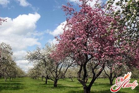 как посадить яблони