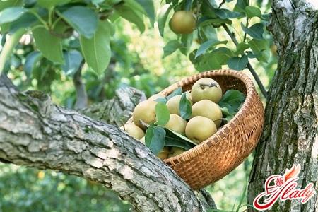 рассадка яблоневых деревьев