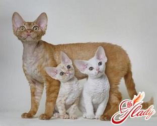 британские кошки и дети
