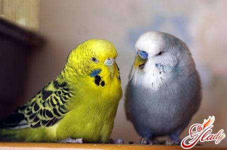 волнистые попугаи как выбрать