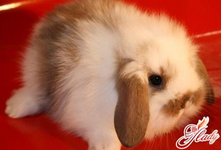 кролики карликовые