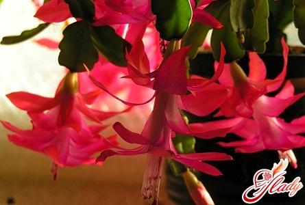 декабрист цветок