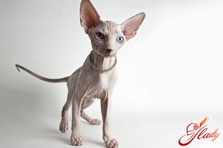 кошка сфинкс уход